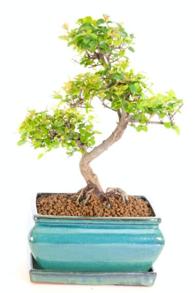Beautiful Sweet Plum Bonsai with Exposed Roots