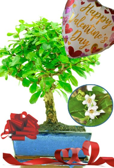 Happy Valentines flowering indoor bonsai gift