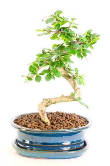 Delightful Indoor Oriental Tea Tree bonsai for sale