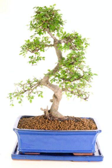 Superb Chinese Elm indoor bonsai