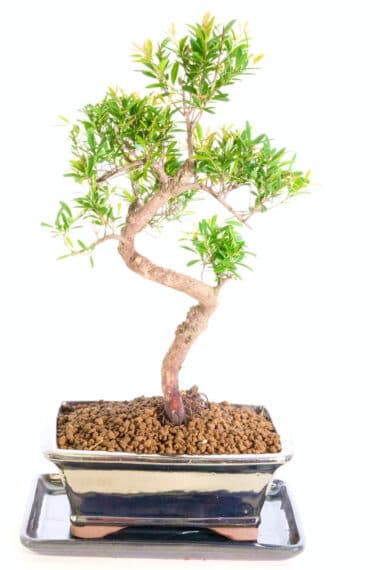 Excellent Oriental Myrtle bonsai tree