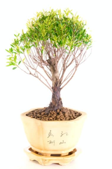 Roseapple bonsai in hexagonal embossed pot