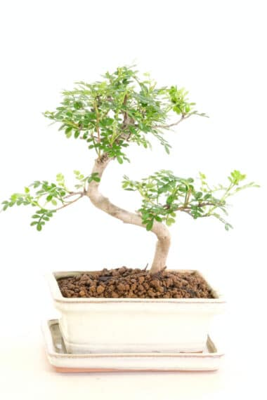 Tiny Indoor Aromatic Pepper bonsai