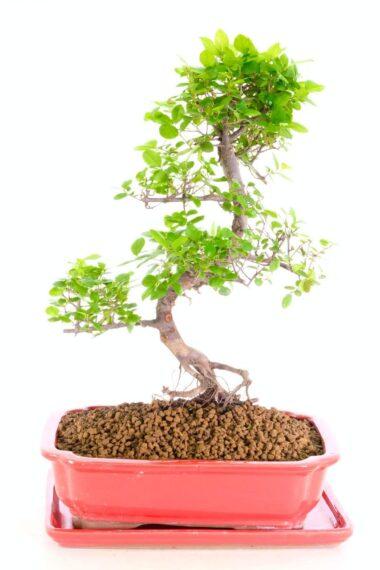 Charming sweet plum Bonsai for sale