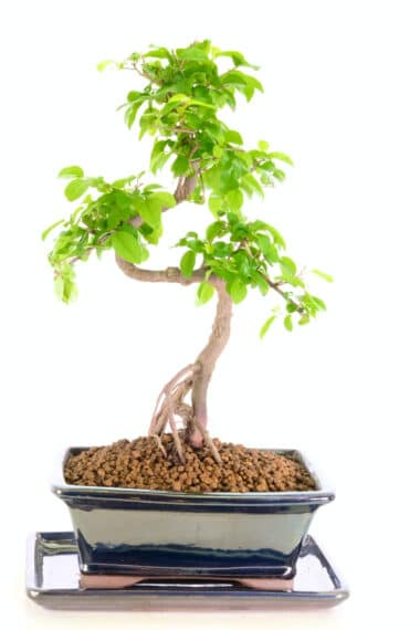Superb indoor Chinese Sweet Plum indoor bonsai tree for sale