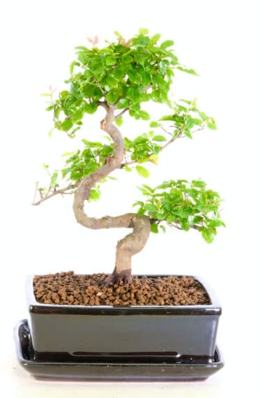Very pretty s-shaped sweet plum indoor tree for sale