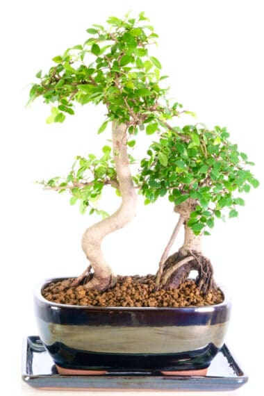 Chinese elm father and child for sale