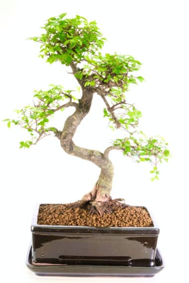 Excellent range beginners Chinese Elm Bonsai large size