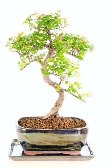 Beautiful s-shaped twisty sweet plum bonsai tree for sale