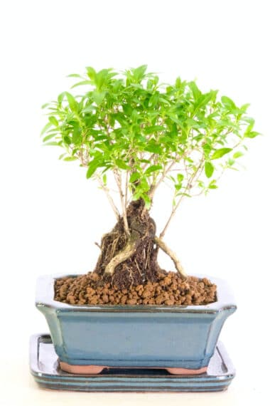 Miniature Snowrose Bonsai for sale
